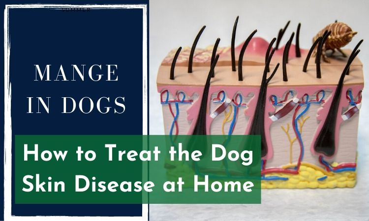Mange in Dogs_How to Treat the Dog Skin Disease at Home